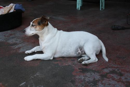 jack_russell_spotty_3_0